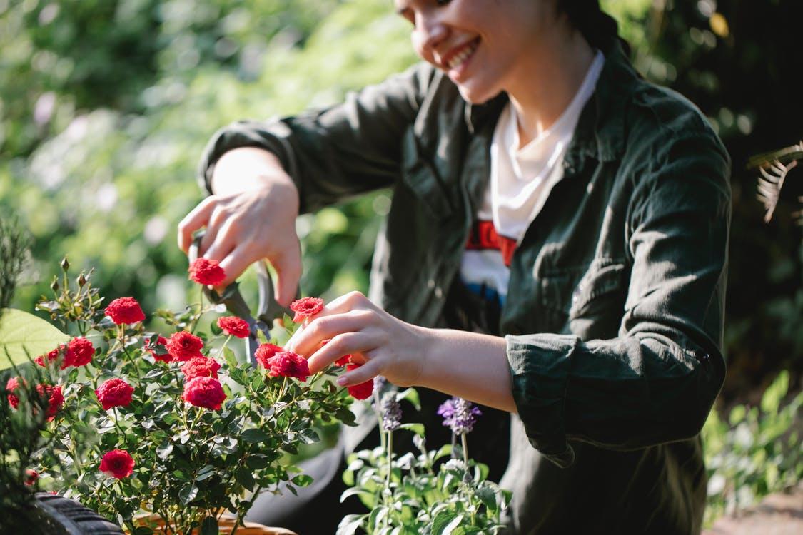 žena stříhání růží