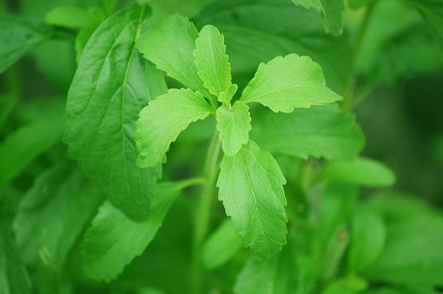cukrová rostlina.jpg