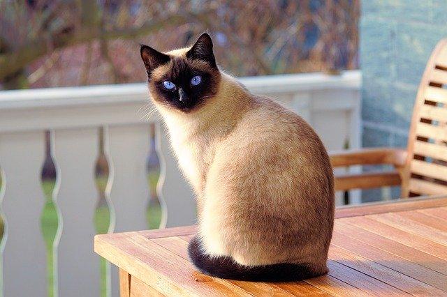 siamská kočka.jpg