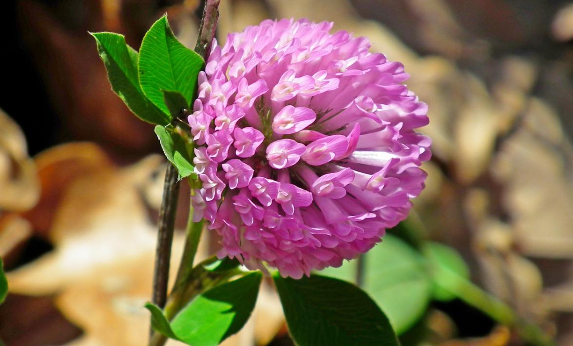 rostlinka vojtěška
